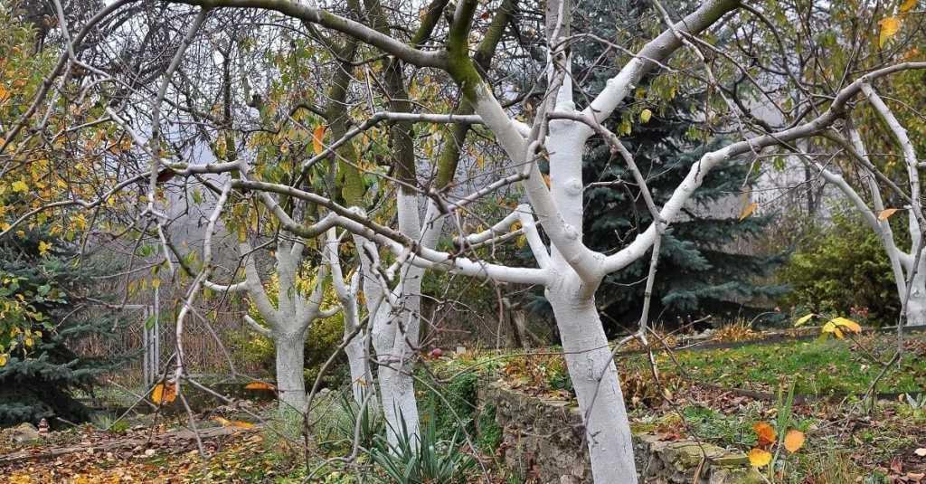 Какие деревья нужно белить