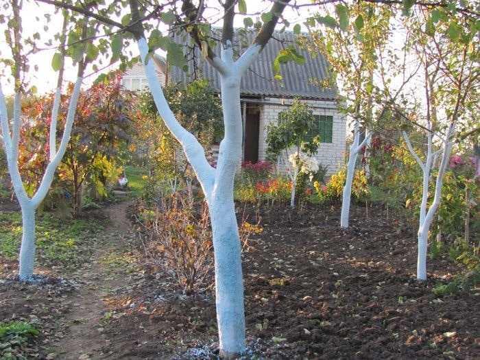 Высота побелки деревьев